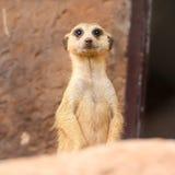 Meerkat Royaltyfria Foton