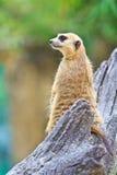 Meerkat Imagenes de archivo