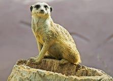 Meerkat Стоковое Фото