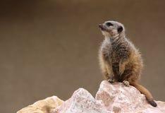 Meerkat Image stock