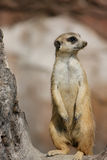 Meerkat. Lovely Meerkat standing on guard and watching for intruders Royalty Free Stock Photo