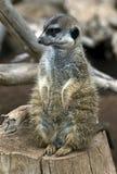 Meerkat 5 Royalty Free Stock Image