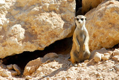 Free Meerkat Stock Photography - 5036012