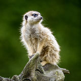 Meerkat Стоковое Изображение