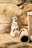 Meerkat Imagem de Stock