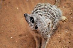 Meerkat Photographie stock libre de droits