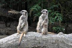 Meerkat Στοκ Εικόνες