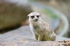 Meerkat Arkivfoton