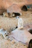 Meerkat 库存照片