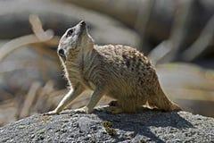 Meerkat 11 Foto de Stock Royalty Free