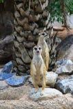 Meerkat Stock Fotografie