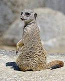 Meerkat 19 Foto de Stock Royalty Free