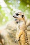 Meerkat Images stock