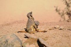 Meerkat Fotografía de archivo libre de regalías