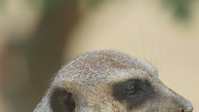 Meerkat φιλμ μικρού μήκους