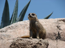 Meerkat. Watching meerkat, making guard of any possible intruder Stock Photo
