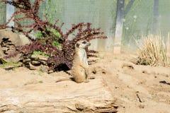 Meerkat Стоковые Фото