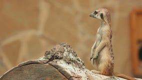 Meerkat stock video