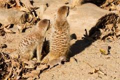 新Meerkat 免版税库存图片