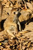 新Meerkat 免版税图库摄影
