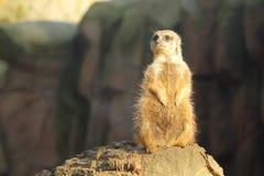 Meerkat Imagens de Stock