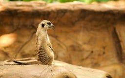 Meerkat Fotografia de Stock Royalty Free