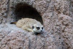 Meerkat Lizenzfreies Stockbild