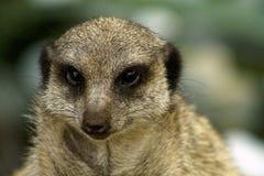 Meerkat Fotografía de archivo
