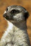Meerkat Zdjęcia Royalty Free