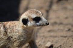 Meerkat Стоковая Фотография RF