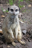 Meerkat. Cute little smiling Meerkat just hanging around and chilling out Royalty Free Stock Photo