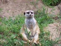 meerkat 2 Стоковое Фото