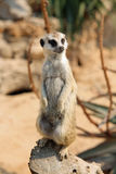 Meerkat. The meerkat or suricate Suricata suricatta is a small mammal and a member of the mongoose family. It inhabits all parts of the Kalahari Desert in Royalty Free Stock Photos