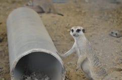 Meerkat Στοκ Φωτογραφίες