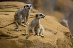3 meerkat Obraz Royalty Free
