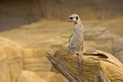 Meerkat 5 Fotografía de archivo