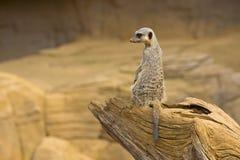 5 meerkat Fotografia Stock