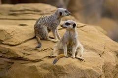 4 meerkat Zdjęcie Stock