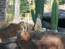 Meerkat Royaltyfria Bilder