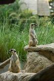 Meerkat. Or Suricate (suricata suricatta) , zoo asia Royalty Free Stock Image