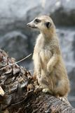 Meerkat. Standing up on a tree royalty free stock photos