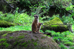 Meerkat in aard Stock Foto
