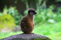 Meerkat in aard Royalty-vrije Stock Afbeelding