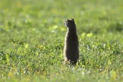 Meerkat, Addo Elephant National Park Lizenzfreie Stockfotografie