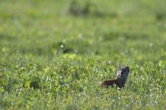 Meerkat, Addo Elephant National Park Lizenzfreie Stockbilder
