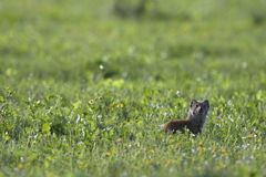 Meerkat, Addo Elephant National Park Stockfotografie