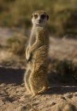 Meerkat 2 Stock Images