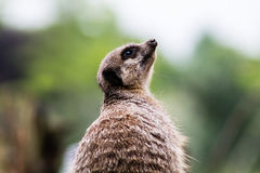 Meerkat adulte Images stock