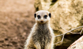Meerkat adulte Photos libres de droits