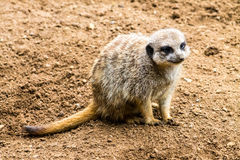 Meerkat adulte Photos stock